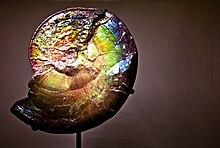 ammonite dating