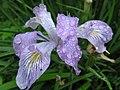 Iris, saddle mountain (733249344).jpg