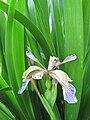 Iris foetidissima-flower-3.jpg