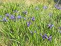 Iris ruthenica - Bucegi, Jepii mici 9.jpg