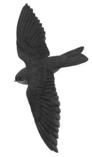 Island swiftlet Species of bird
