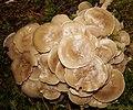 Isojärvi National Park - fungi 6.jpg