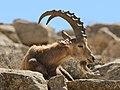 Israel-2013-Makhtesh Ramon 02 (Ibex) (cropped).jpg