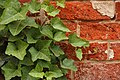 Ivy Hedera Red Brick Wall Closeup 3008px.jpg