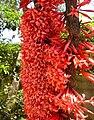 Ixora margaretae flowers.jpg