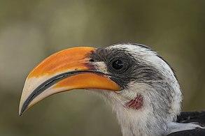 Jackson's hornbill (Tockus jacksoni) male head.jpg