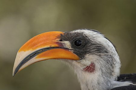 Head of male Jackson's hornbill (Tockus jacksoni)