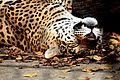 JaguarSleeping.jpg