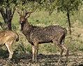Javan Deer pair - Baluran - East Java (29505341903) (cropped).jpg