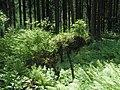 Jeden strom zaniká,nový na něm vyrůsta - panoramio.jpg