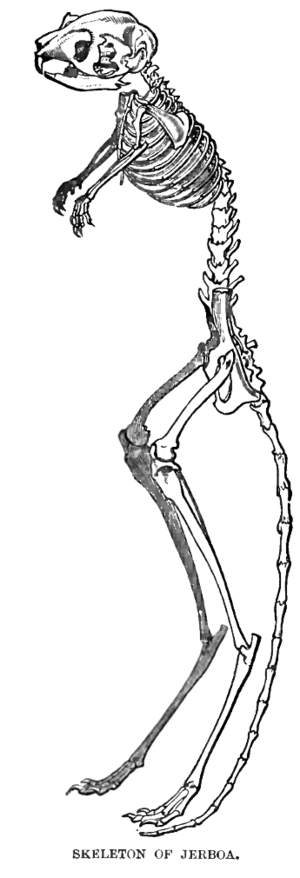 Jerboa - Skeleton of a jerboa