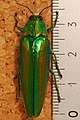 Jewel Beetle (Chrysochroa baudoni) (8287164243).jpg