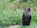 Jibea macaque lion apenheul 2016 02.jpg
