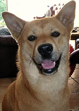 Jindo dog face.jpg