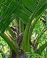 Jubaea chilensis 4.jpg