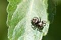 Jumping spider 2 (5875439799).jpg