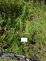 Juncus ensifolius - Botanical Garden, University of Frankfurt - DSC02720.JPG