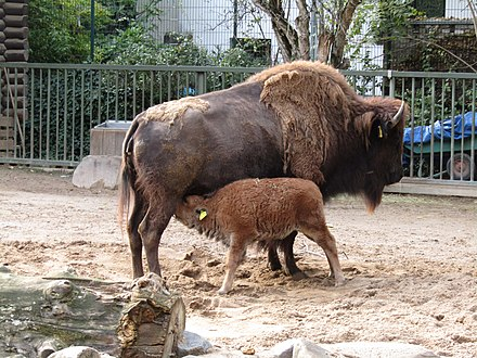 A cow suckling calf at the Cologne Zoological Garden in Cologne, Germany Junger Prariebison (Zoo Koln) (1).jpg