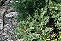 Juniperus chinensis Parsonsii 1zz.jpg