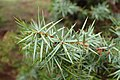Juniperus oxycedrus kz08 (Morocco).jpg