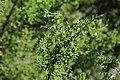 Juniperus pinchotii (redberry juniper) 2 (39959074151).jpg