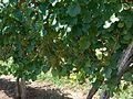 Jurançon saint-faust 2011 08 21 009.jpg