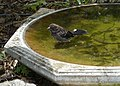 Juvenile Spotted Towhee at the bird bath (26754407694).jpg
