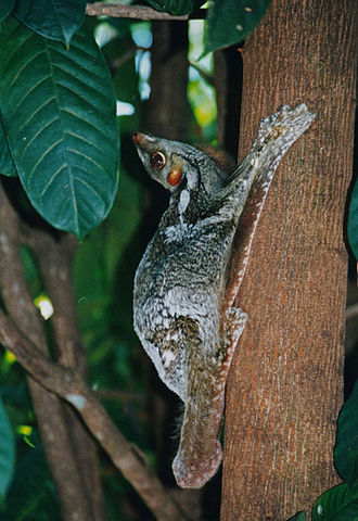 Sunda flying lemur - Galeopterus variegatus