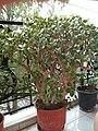 Kalanchoe marnieriana plant.jpg