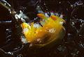 Kaloplocamus acutus.jpg