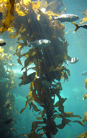 Algae - The kelp forest exhibit at the Monterey Bay Aquarium: A three-dimensional, multicellular thallus