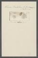 Kerona rastellum - - Print - Iconographia Zoologica - Special Collections University of Amsterdam - UBAINV0274 113 18 0018.tif