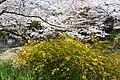 Kerria japonica & Cherry01.jpg