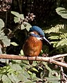 Kingfisher 3 (3951017168).jpg