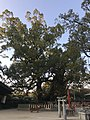 Kinukake no Mori Camphor Tree in Umi Hachiman Shrine 3.jpg