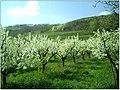 Kirschblüte - panoramio (17).jpg