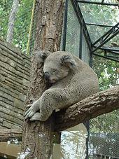 Koala endormi sur une fourche dans un enclos complètement grillagé