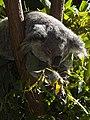 Koala at Currumbin Wildlife Sanctuary - Currumbin - Queensland - Australia - 01 (35913965125).jpg