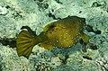 Kofferfisch, Ostracion cubicus,рыба-кузовок.DSCF0921OB.jpg