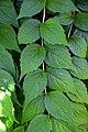 Kolkwitzia amabilis 01.jpg