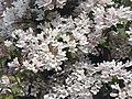 Kolkwitzia amabilis 2.jpg