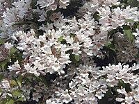 Kolkwitzia amabilis 2