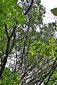 Kopachivka Rozyshchenskyi Volynska-Larix decidua alley nature monument-look up the trees.jpg
