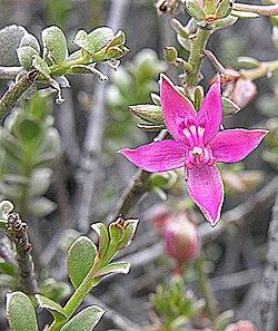 Krameria cistoidea (8686000043).jpg