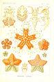 Kunstformen der Natur (Tafel 40) (6197319683).jpg