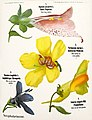 Léopold Kny et Albert Peter-Planches botaniques murales (1) retusche.jpg