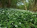LSG Westlicher Steilhang des Rurtales Bärlauch (Allium ursinum) 1 DE-NW.jpg