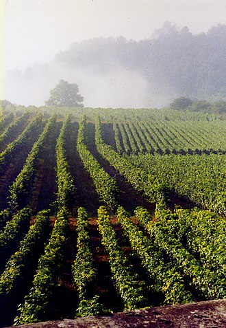 Gamay - Vineyard in La Rochepot, Hautes-Côtes de Beaune.  The closely spaced rows in the foreground are Gamay; in the background are more widely spaced rows of Pinot noir.