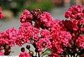 Lagerstroemia Pink Velour 3zz.jpg