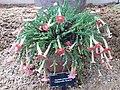 Lamiales - Ourisia polyantha - 1.jpg